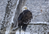 Bald Eagle in Winter Woodland