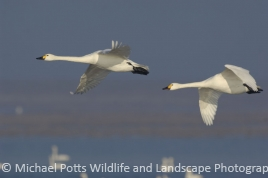 Bewicks Swans pair in flight