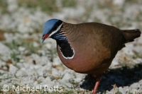 Blue Headed Quail Dove