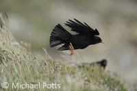 A Chough takes off from the Clifftop