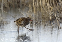 Water Rail on Ice