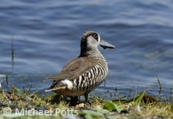Pink Eared Duck roosting
