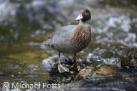 New Zealand Blue Duck on rock in river