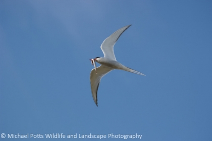 Arctic Tern carrying a Sand Eel