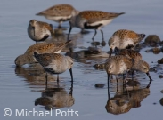 Dunlin on migration