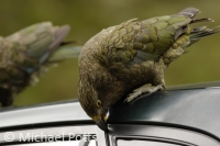 Kea on a Car