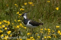Lapwing in Marsh Marigolds
