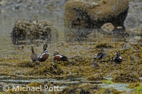 Harlequin Ducks on Seaweed