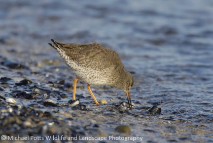 Redshank feeding