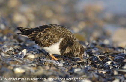 Turnstone scavenging from mussels.