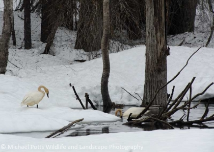 Trumpeter Swans at Nest Site on a Beaver Pond