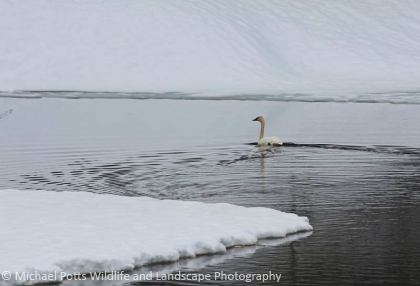 Trumpeter Swan on a Beaver Pond