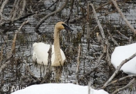 Trumpeter Swan feeding on Beaver Pond