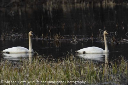 Trumpeter Swans on Nesting Pond
