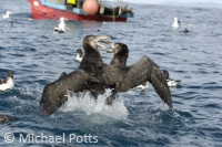 Giant Petrels fighting over Food