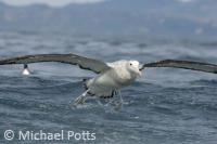 Royal Albatross take off from Sea