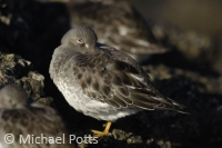 Roosting Purple Sandpipers