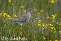 Redshank in Marsh Marigolds
