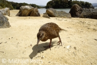 Flightless Weka