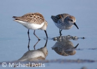 Western Sandpiper Reflections