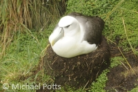 White Capped Albatross