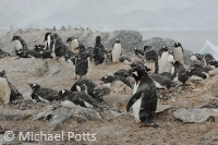 Gentoo Penguins in a Snowstorm