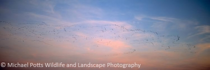 Pink Footed Geese at Dawn